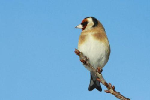 Goldfinch by Dick Coombes
