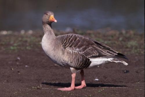 Greylag Goose by Eddie Dunne