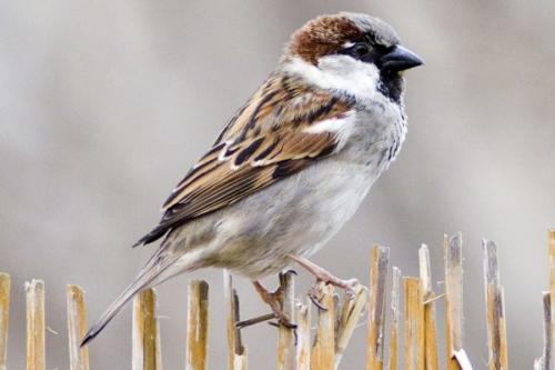 House Sparrow by Michael Finn