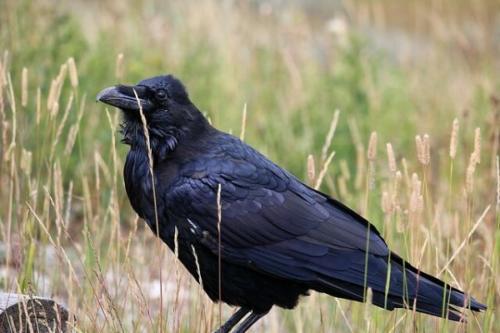 Raven by Larry Barnes