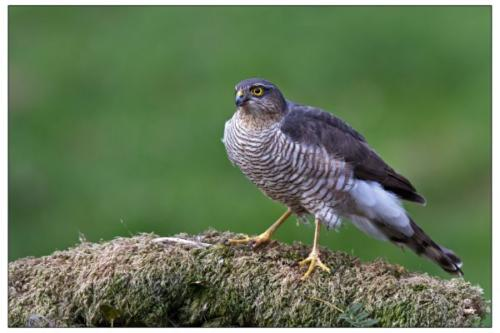 Sparrowhawk by Tom Ormond