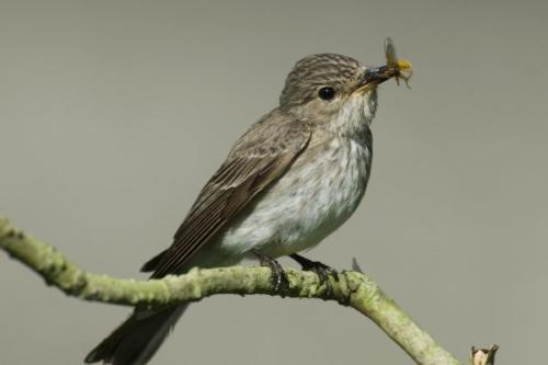Spotted Flycatcher by Clive Timmons