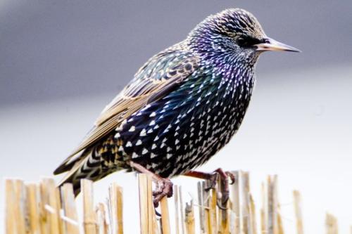 Starling by Michael Finn
