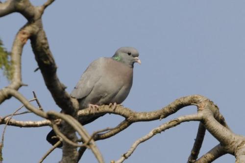 Stock Dove by John Fox