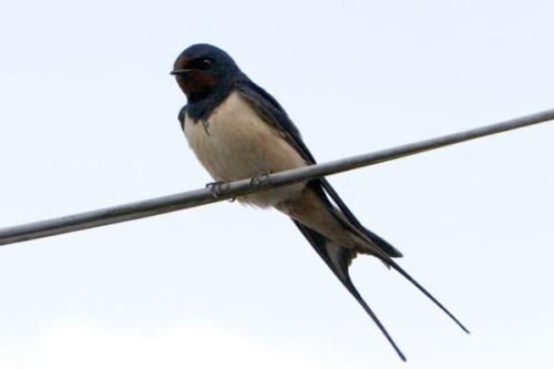Swallow by Daragh Owens